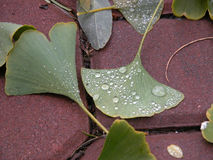 Gingko in the Rain Royalty Free Stock Image