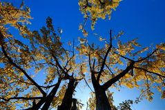 Gingko tree. The bright yellow gingko leaves, form a beautiful picture Stock Image