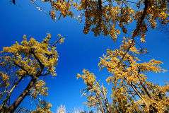 Gingko tree. The bright yellow gingko leaves, form a beautiful picture Royalty Free Stock Photos