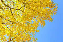 Gingko tree Royalty Free Stock Image