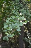 Gingko Tree. A Ginkgo branch with leaves displayed with perspective. Picture taken May 2014 Royalty Free Stock Photo