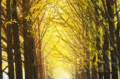 Gingko trees Stock Images