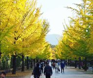 Gingko trees alley in japanese park stock images