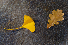 Gingko und Eiche Autumn Leaves Stockfotos