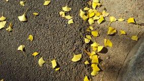 Gingkoträdsidor på asfalt Fotografering för Bildbyråer