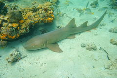 Ginglymostoma cirratum nurse shark underwater Stock Photography