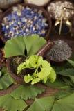 Ginkgo, árbol de maidenhair, remedio natural Imagen de archivo libre de regalías