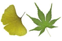 Ginkgo και ιαπωνικό φύλλο σφενδάμου στοκ φωτογραφία με δικαίωμα ελεύθερης χρήσης