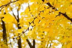 ginkgo χρυσό Στοκ εικόνες με δικαίωμα ελεύθερης χρήσης