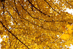 Ginkgo. Leaves and the sky in fall Stock Images
