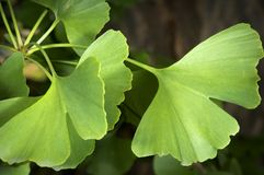 Ginkgo. Close-up on ginkgo biloba tree leaves Royalty Free Stock Images