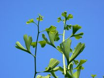 Ginkgo Royalty Free Stock Photography