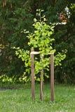 Ginkgo Royalty Free Stock Image