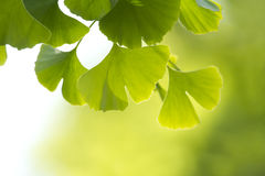Ginkgo Photographie stock