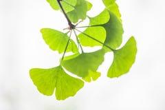 Φύλλο Ginkgo Στοκ φωτογραφία με δικαίωμα ελεύθερης χρήσης