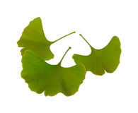 Ginkgo  Royalty Free Stock Photo