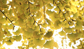 Ginkgo. Grown during the season of autumn Stock Images