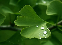 Ginkgo Photos stock