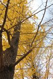 ginkgo Foto de Stock Royalty Free