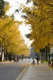 Ginkgo. The campus in autumn with the ginkgo leaves in golden color Royalty Free Stock Photo