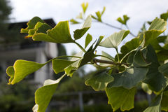ginkgo photo stock