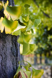 Ginkgo. Close-up on ginkgo biloba tree leaves. Autumn, Japan Stock Photography