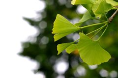 Ginkgo stock photography
