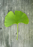 ginkgo Images stock