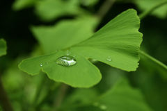 Ginkgo. Green ginkgo leaf with a waterdrip on the surface Royalty Free Stock Photos