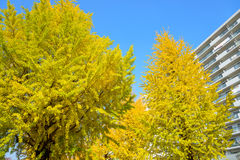 Ginkgo alberato al parco di Hikarigaoka a Tokyo Fotografie Stock Libere da Diritti