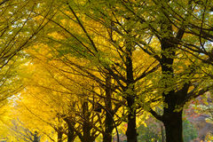 Ginkgo alberato al parco di Hikarigaoka a Tokyo Immagine Stock Libera da Diritti