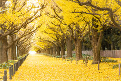 Ginkgo aleja Icho Namiki Tokio, Japonia fotografia royalty free