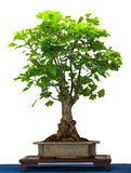Ginkgo as bonsai tree Stock Images
