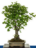 Ginkgo as bonsai tree. Ginkgo (Ginkgo biloba) as bonsai tree Royalty Free Stock Photos