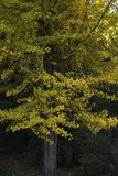 Ginkgo in autumn Royalty Free Stock Photo