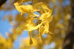 Ginkgo autumn leaves Royalty Free Stock Photo