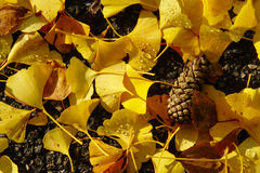 Ginkgo Autumn Leaves And Pine Cone Royalty Free Stock Images