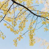 Yellow Ginkgo Leaf in autumn royalty free stock photo