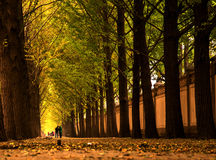 ginkgo avenue Stock Photo