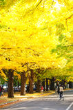 The Ginkgo avenue in the Hokudai, Hokkaido university in Japan. Royalty Free Stock Image