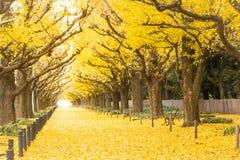 Ginkgo avenue.Icho Namiki Tokyo,Japan. royalty free stock photography