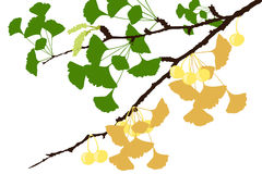 Ginkgo-Baumast - Illustration Stockfotos