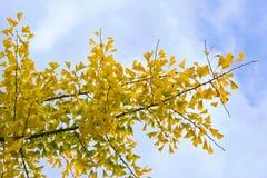 ginkgo biloba осени покидает желтый цвет Стоковая Фотография