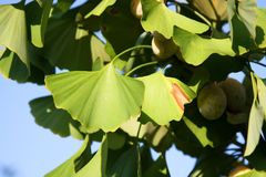 Ginkgo biloba. Close-up on ginkgo biloba tree leaves. Autumn, Japan Stock Photo