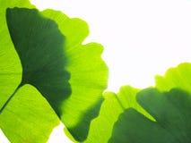 Ginkgo biloba Stock Image