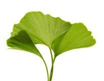 Ginkgo biloba. On the white background Royalty Free Stock Images