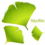 Ginkgo Biloba Stock Images