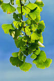 Ginkgo biloba. Twig with leaves of Ginkgo Biloba  in  shunshine  on  the  blue  sky Royalty Free Stock Photography