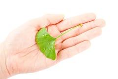 Ginkgo biloba. On white background Stock Image