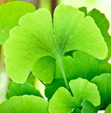 Ginkgo biloba. Green leafs - national tree of China. Ginkgo leaves in the sunlight. Ginkgo is used to improve memory in alternative herbal medicine Royalty Free Stock Images